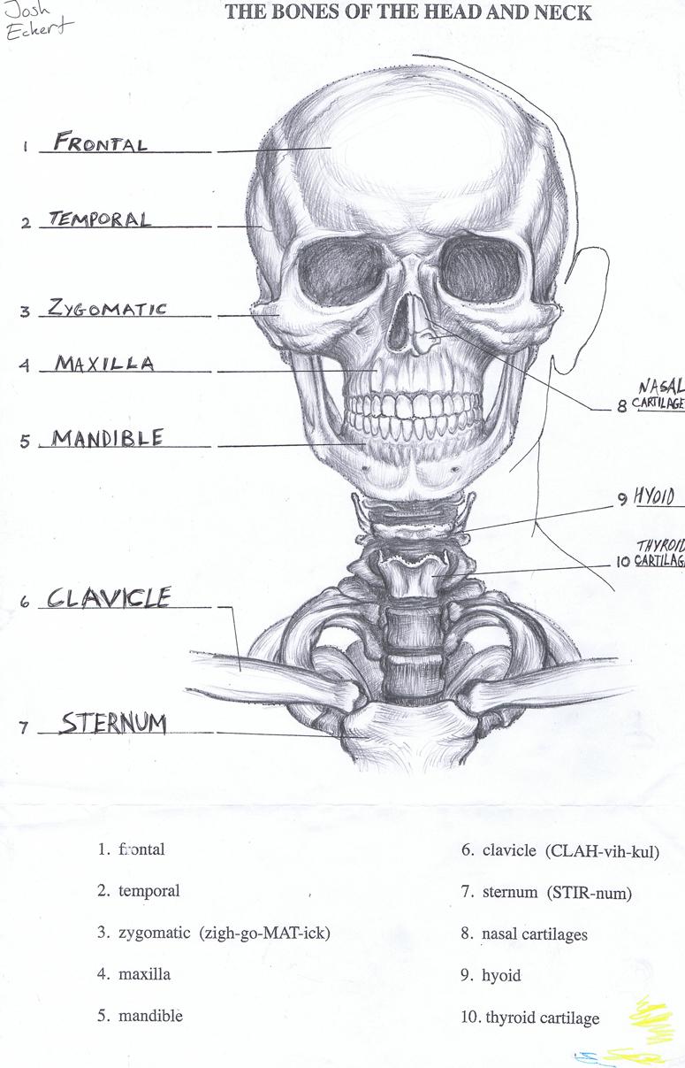 anatomy study – Josh Eckert
