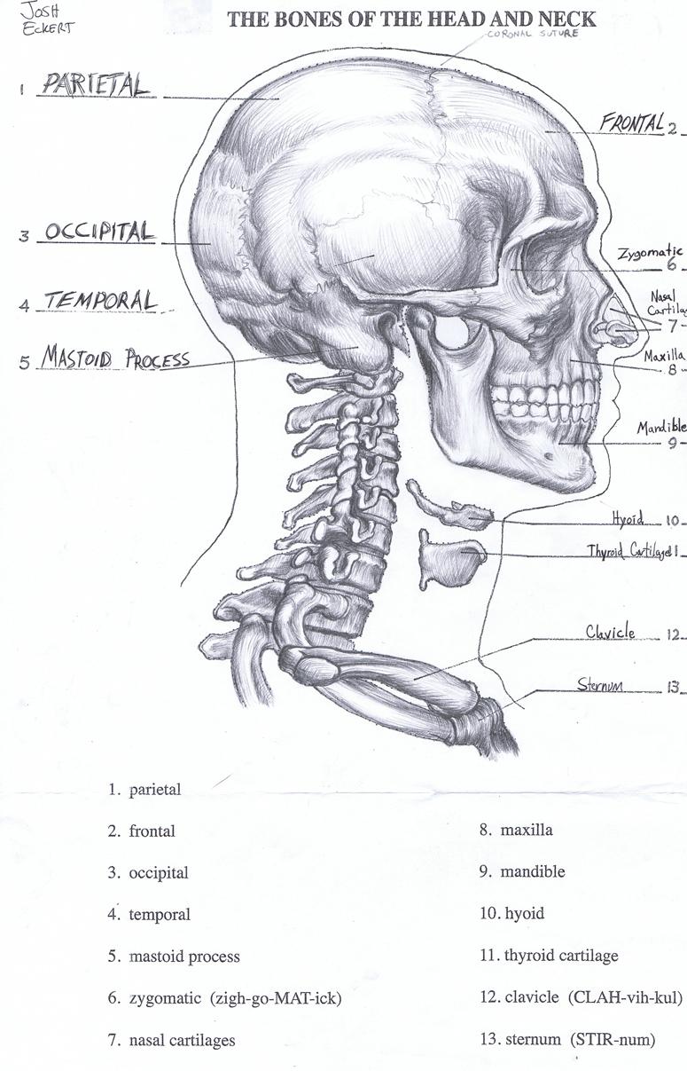 Anatomy Study Josh Eckert